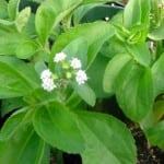 Особенности и преимущества медовой травы