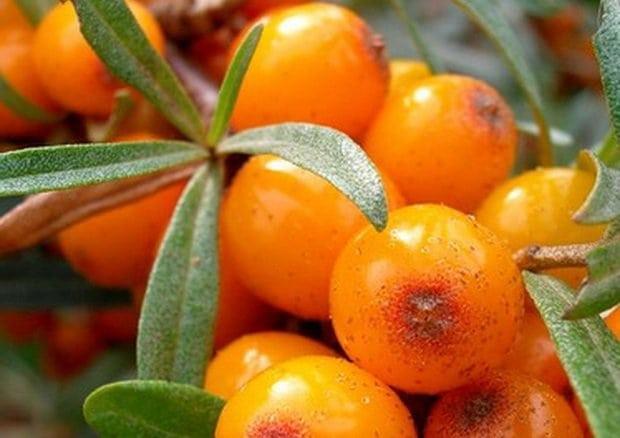 Как готовить отвар из плодов облепихи при диабете