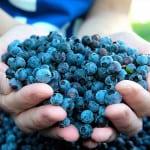 Голубика при сахарном диабете лечебные свойства