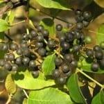 как употреблять плоды бархатного дерева при диабете