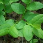 Листья черники при сахарном диабете 2 типа: как заваривать черничный чай?