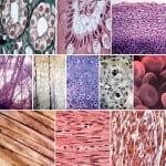 чувствительность к инсулину тканей организма