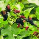 Листья шелковицы от сахарного диабета: лечение корнем и плодами