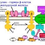 Инсулин Возулим н: действие рекомбинантного препарата
