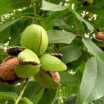 Можно ли есть грецкие орехи при сахарном диабете?