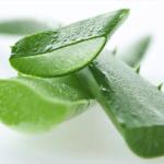 Алоэ при сахарном диабете 2 типа: применение растения в лечении для диабетиков