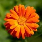 Календула: лечебные свойства и противопоказания при панкреатите