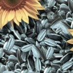 Семечки подсолнуха: польза и вред при повышенном холестерине